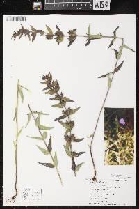 Agalinis auriculata image