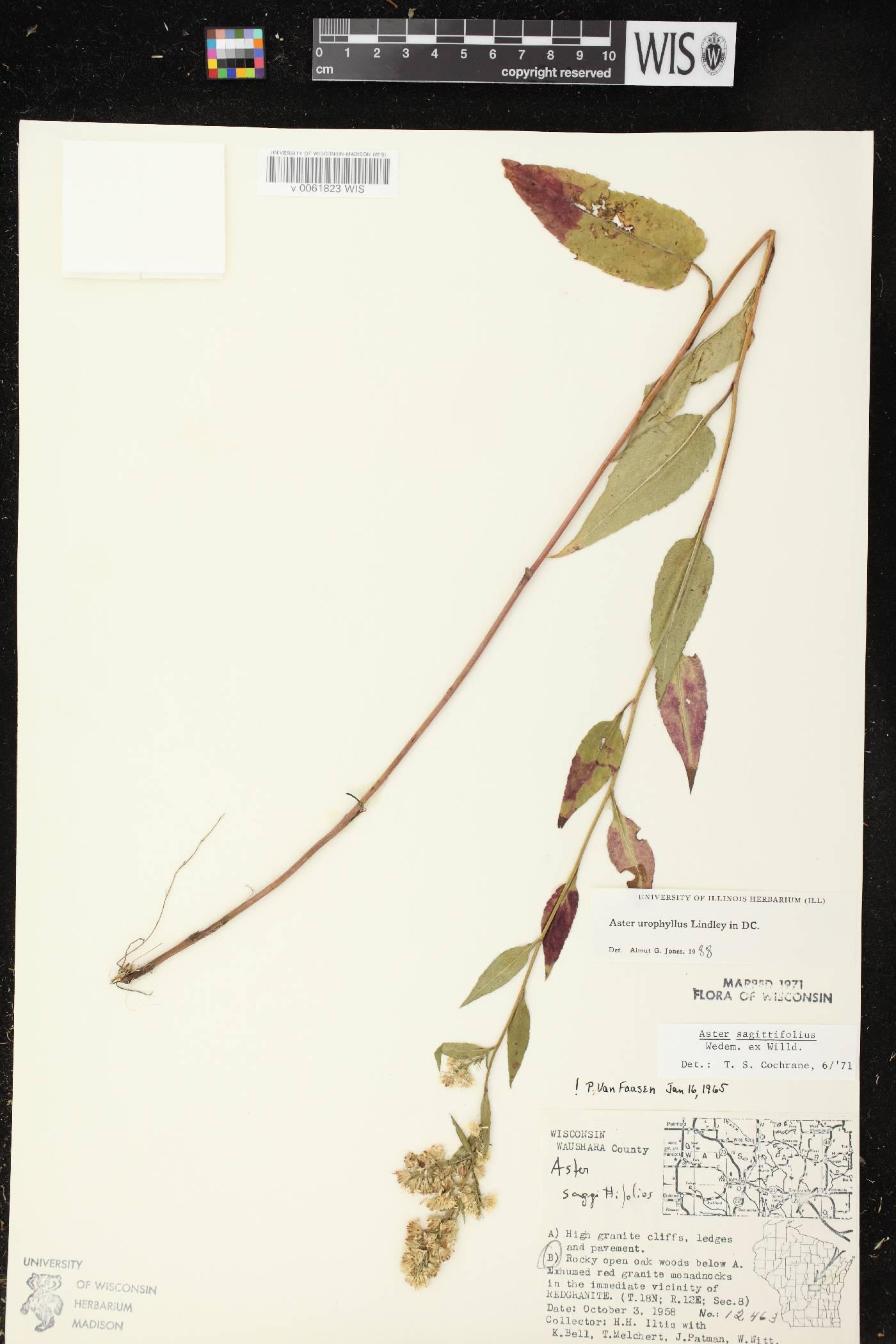 Symphyotrichum urophyllum image