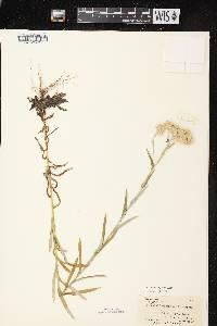 Image of Pseudognaphalium macounii