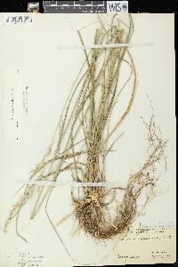 Calamovilfa longifolia var. longifolia image