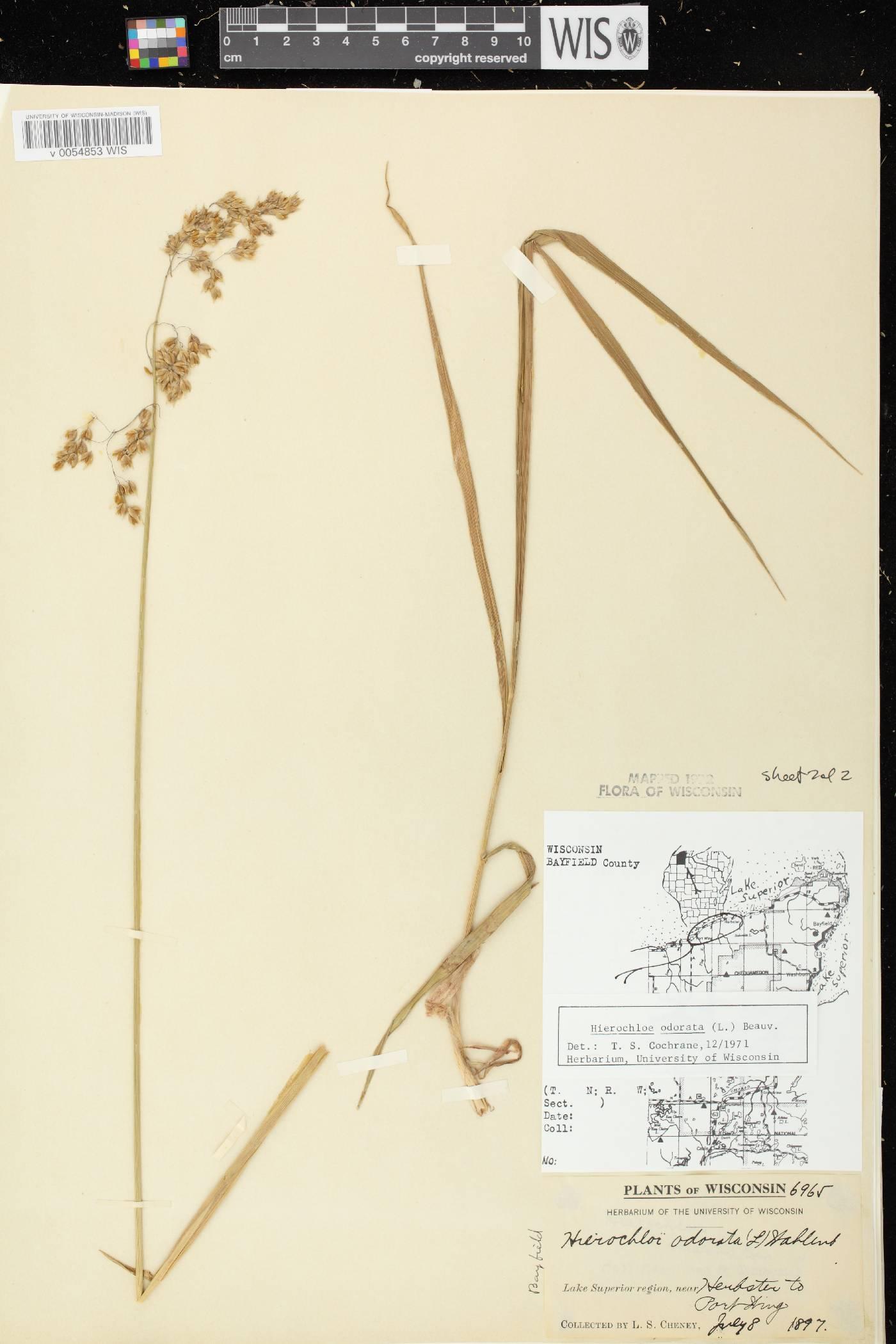 Anthoxanthum hirtum subsp. arcticum image