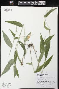 Image of Dichanthelium latifolium