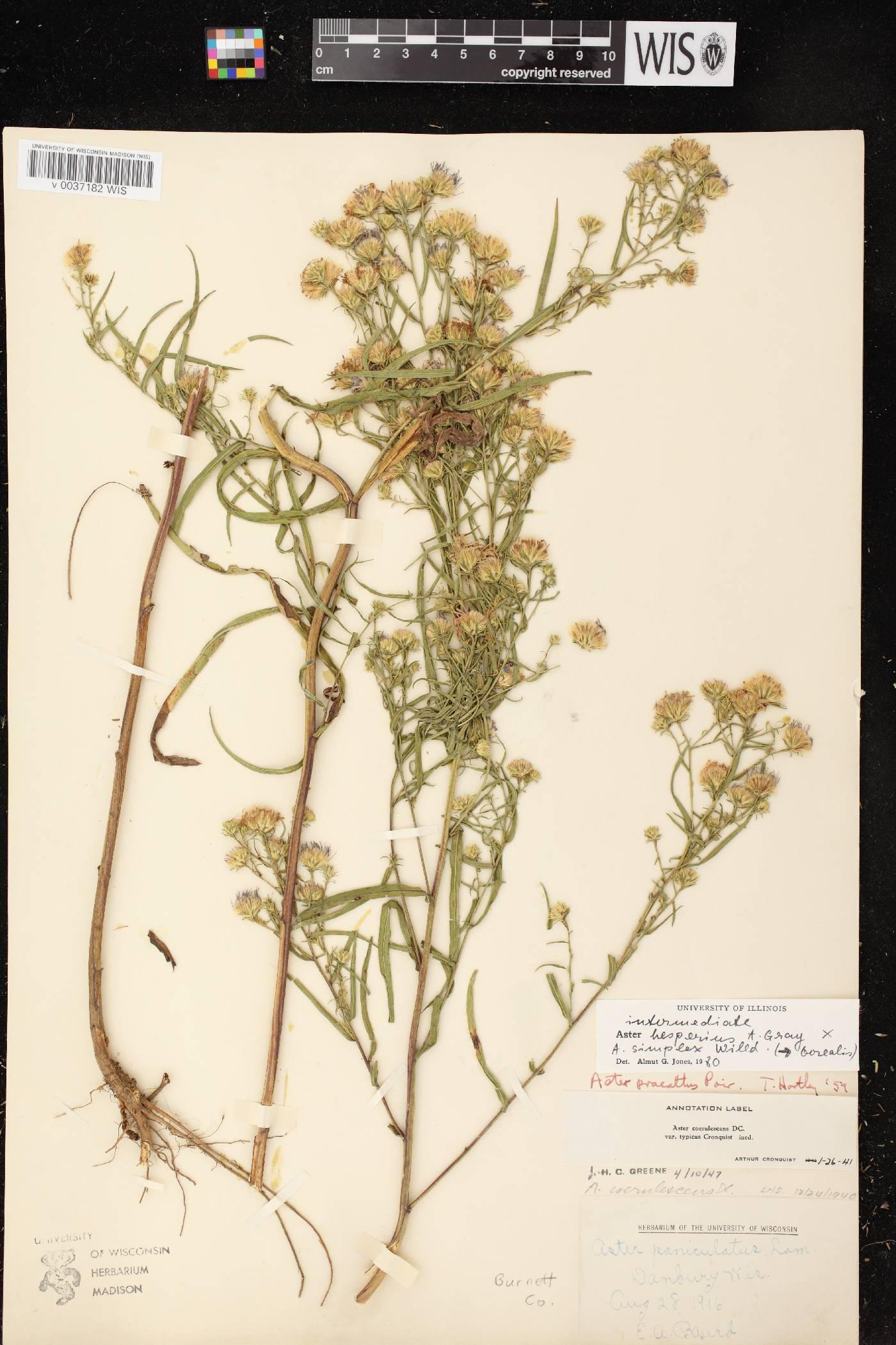 Symphyotrichum lanceolatum var. hesperium X S. lanceolatum var. lanceolatum image