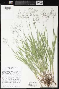 Image of Dichanthelium villosissimum var. praecocius