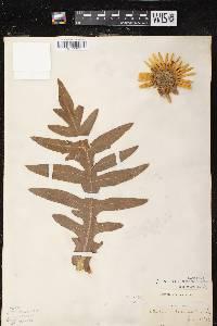 Image of Silphium laciniatum