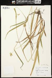Carex folliculata image