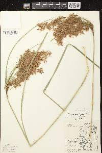 Scirpus cyperinus X S. pedicellatus image