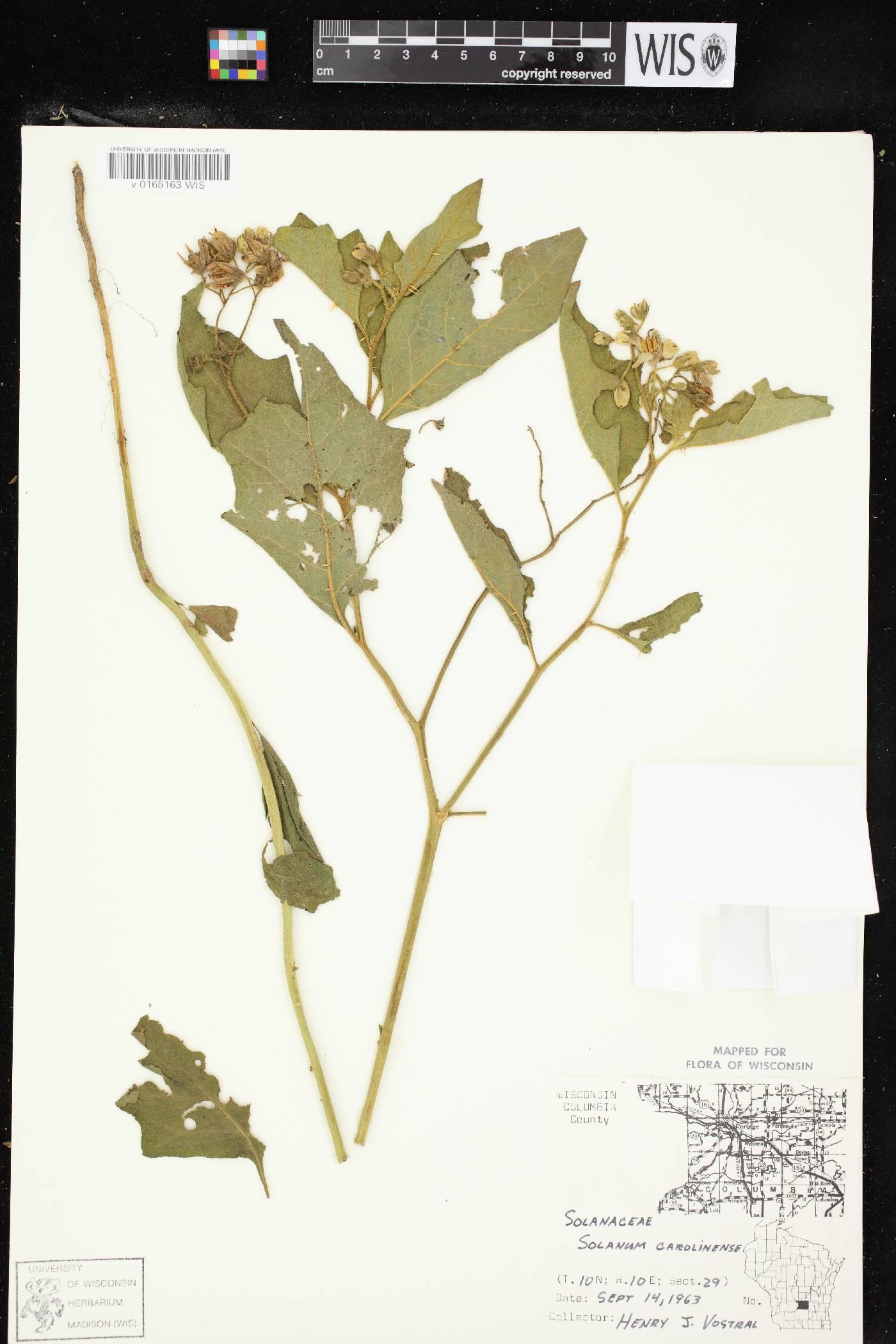 Solanum carolinense var. carolinense image
