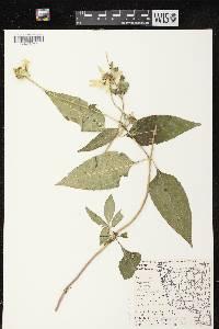 Image of Heliopsis helianthoides var. helianthoides