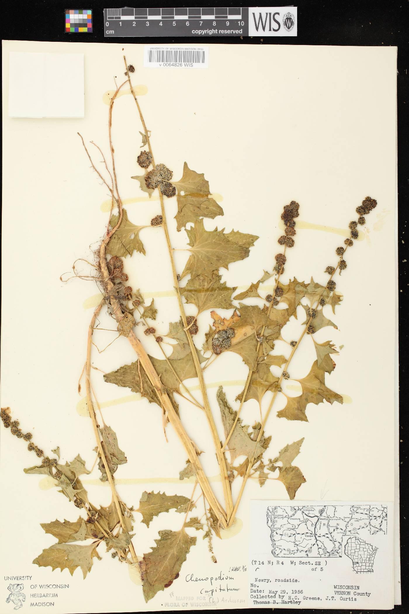 Chenopodium capitatum var. capitatum image