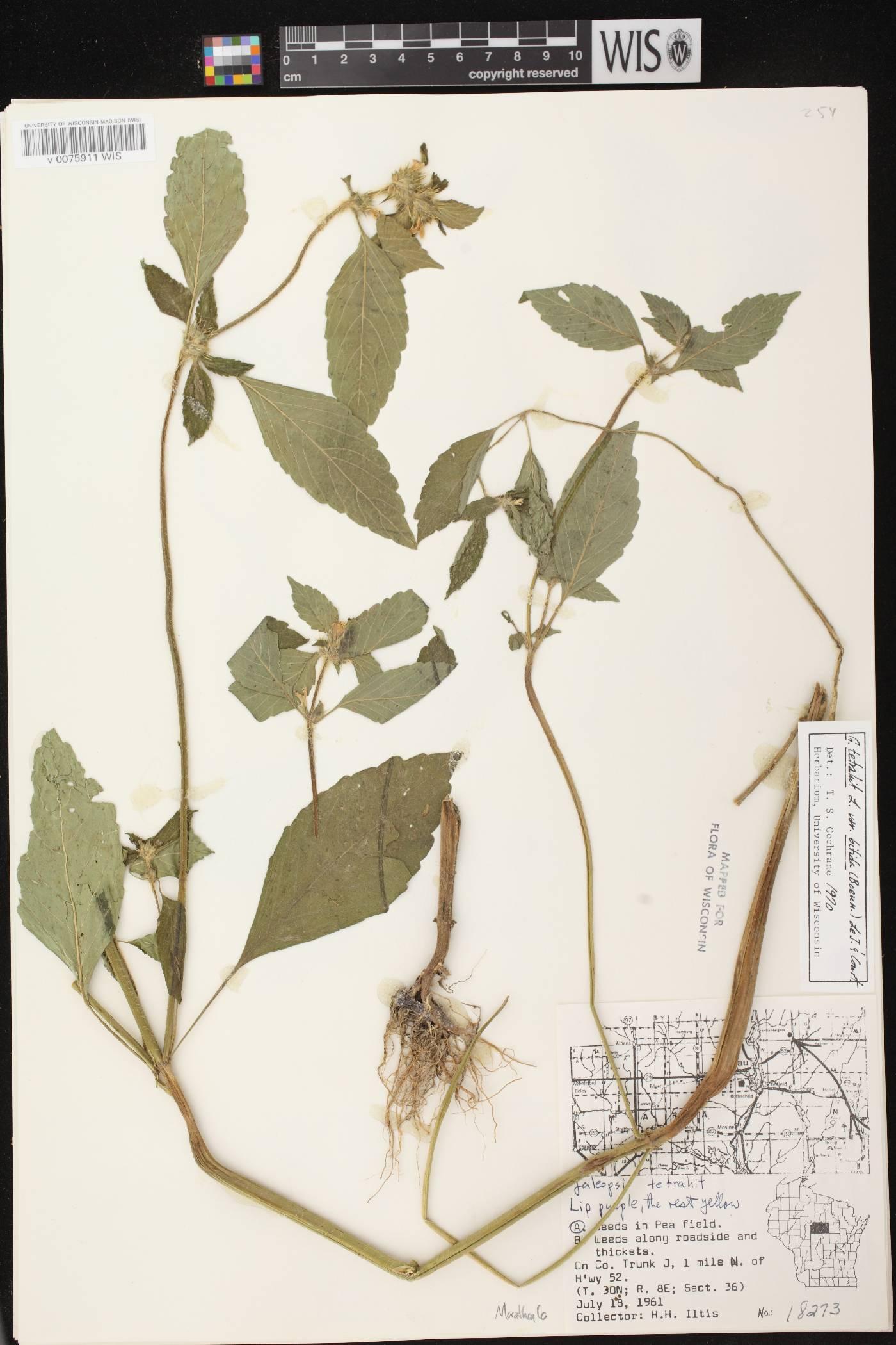 Galeopsis tetrahit image