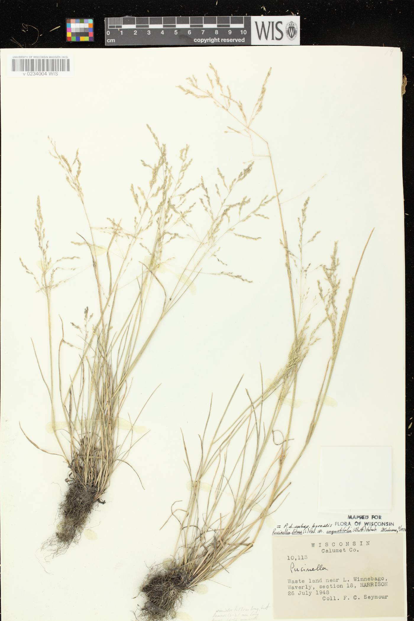Puccinellia distans subsp. borealis image