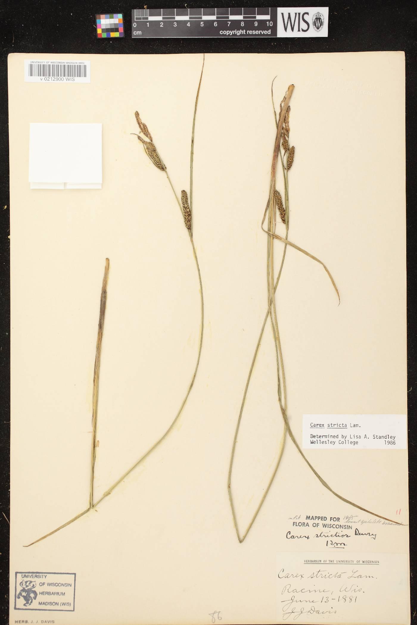 Carex stricta image