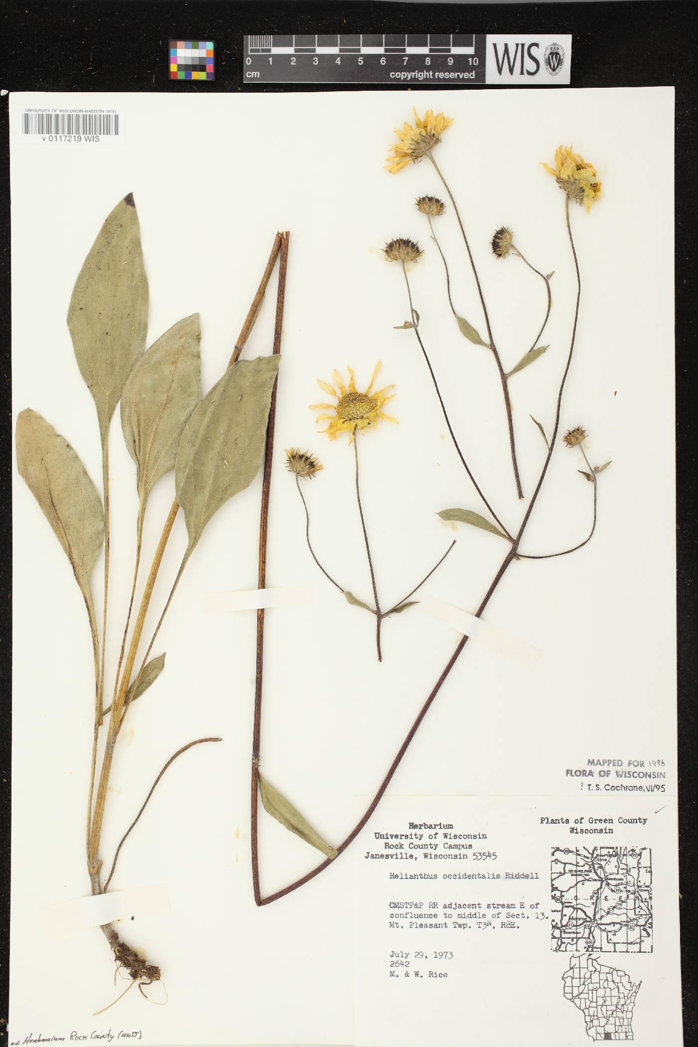 Helianthus occidentalis subsp. occidentalis image
