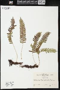Image of Polypodium