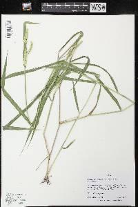 Eriochloa villosa image