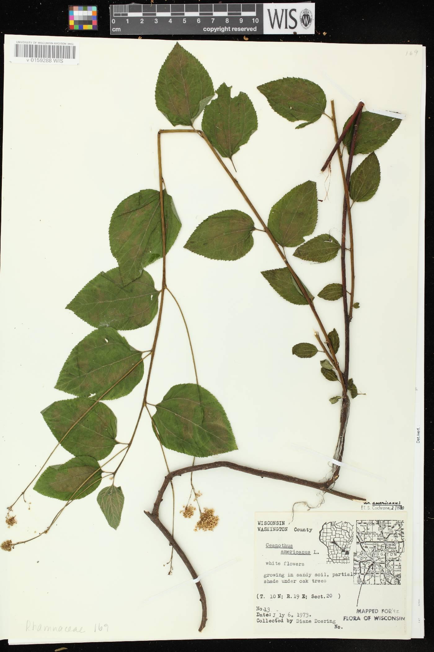 Ceanothus americanus image