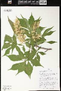 Image of Aesculus glabra