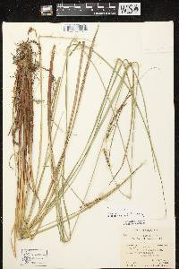 Carex stricta image