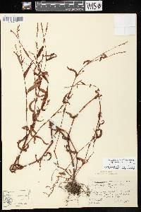 Persicaria punctata image
