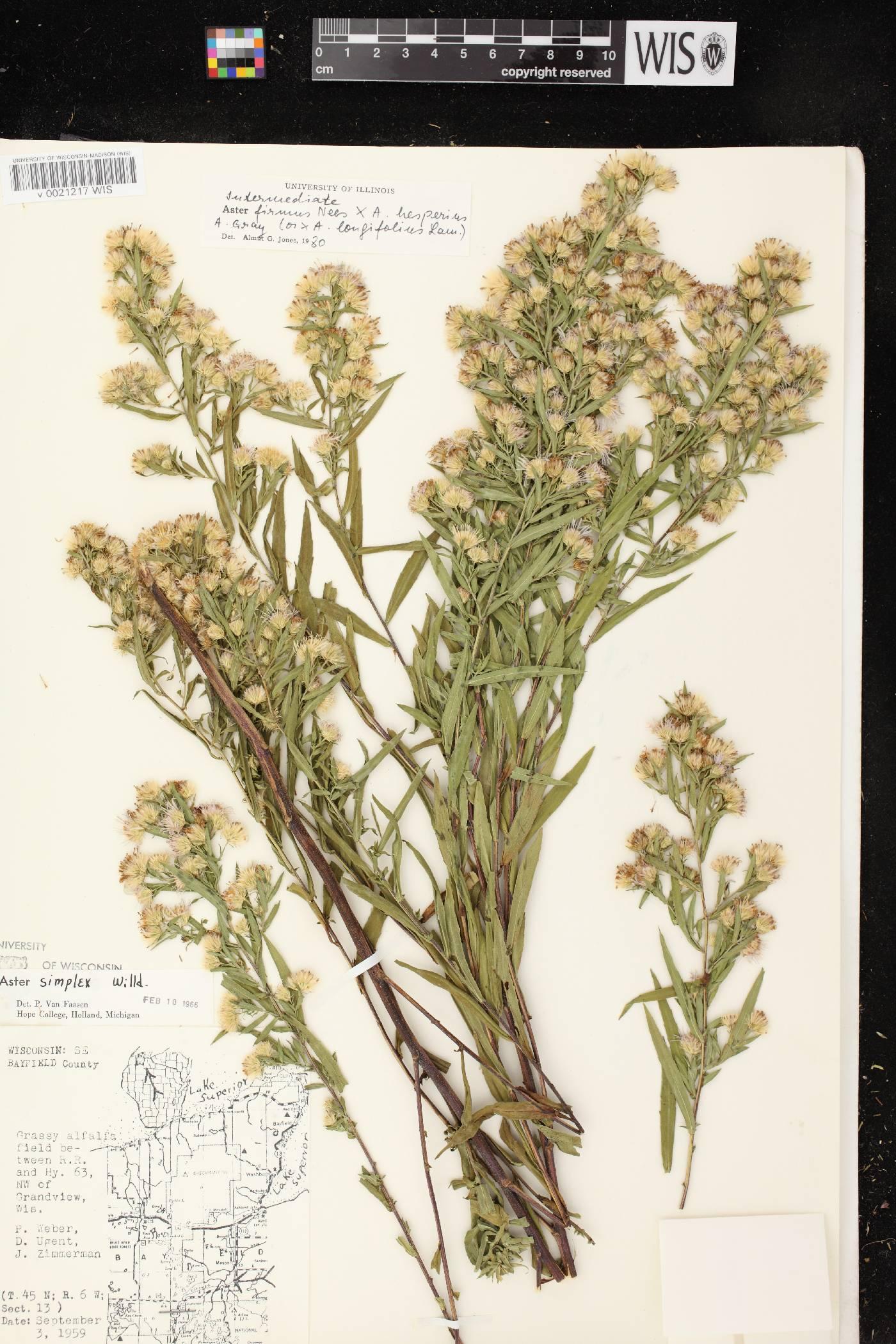 Symphyotrichum firmum X S. lanceolatum var. hesperium image