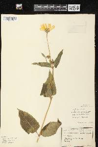 Heliopsis helianthoides var. scabra image