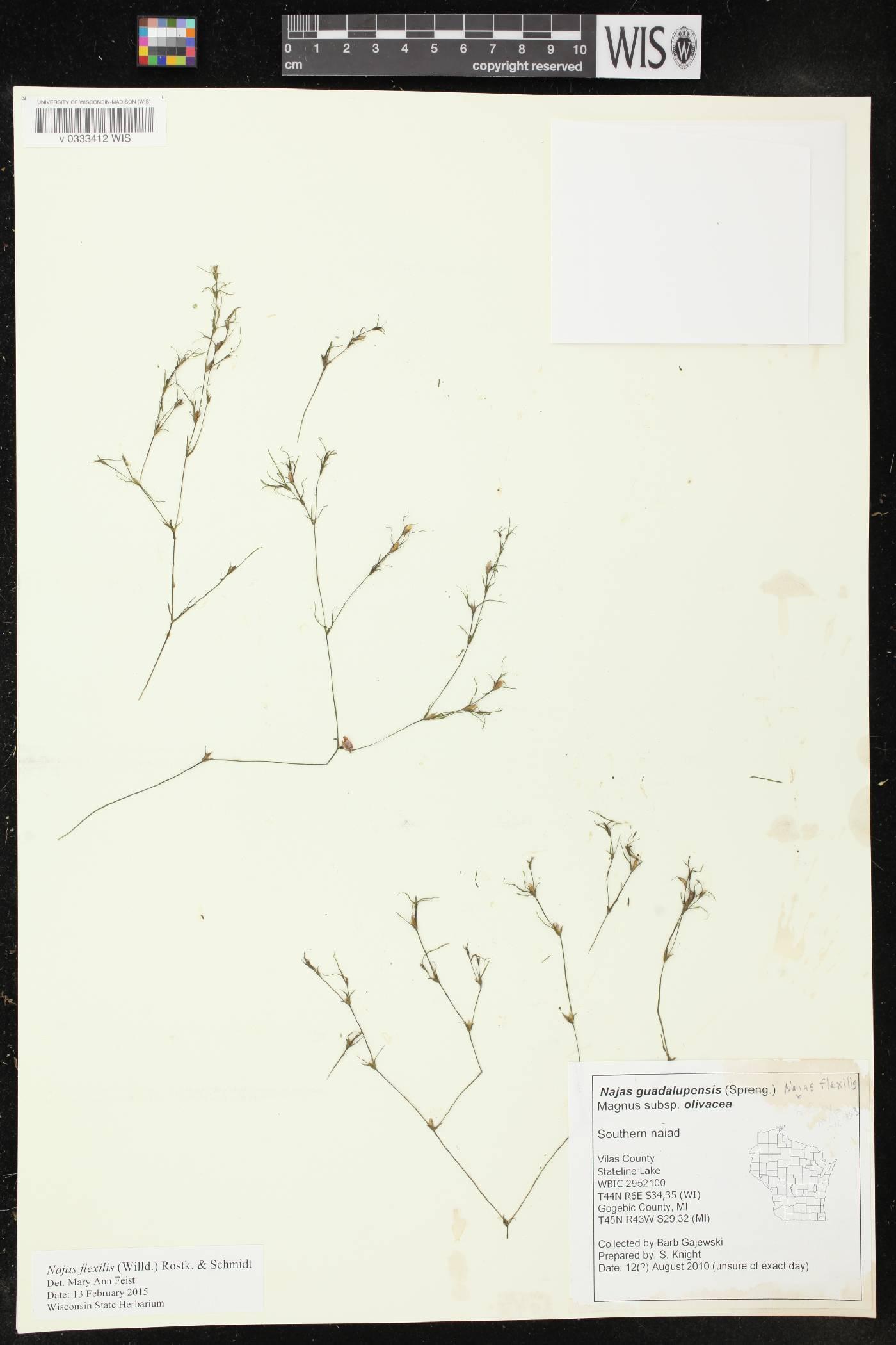 Najas guadalupensis subsp. olivacea image
