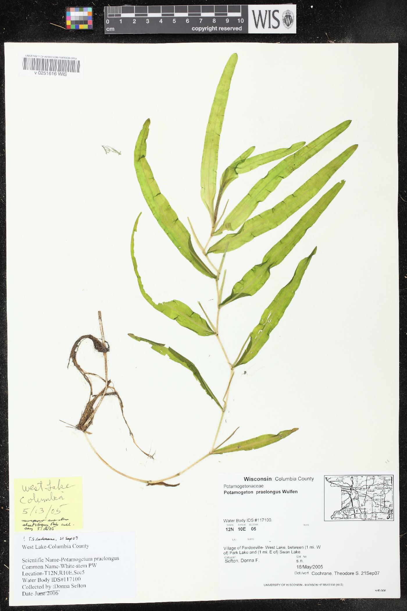 Potamogeton praelongus image