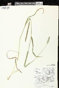 Phleum pratense subsp. pratense image