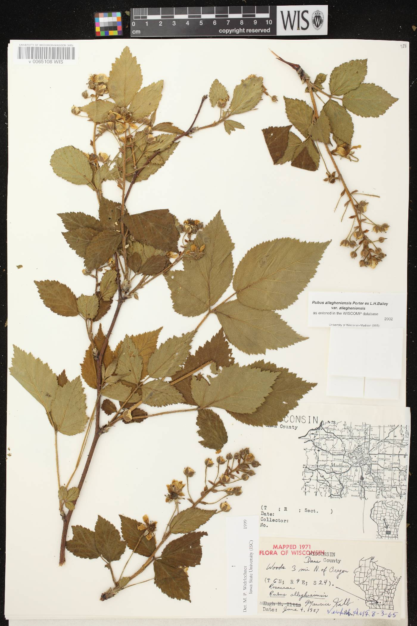 Rubus allegheniensis image
