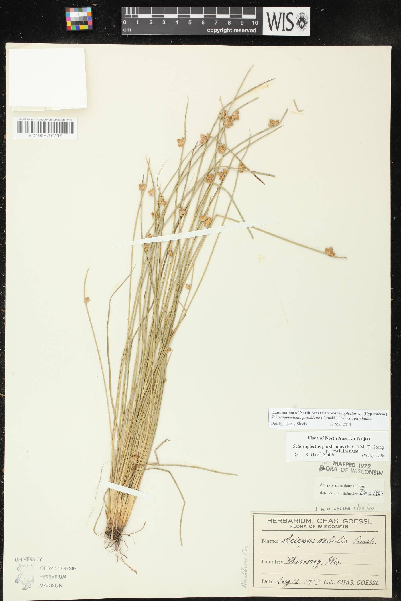 Schoenoplectus purshianus var. purshianus image