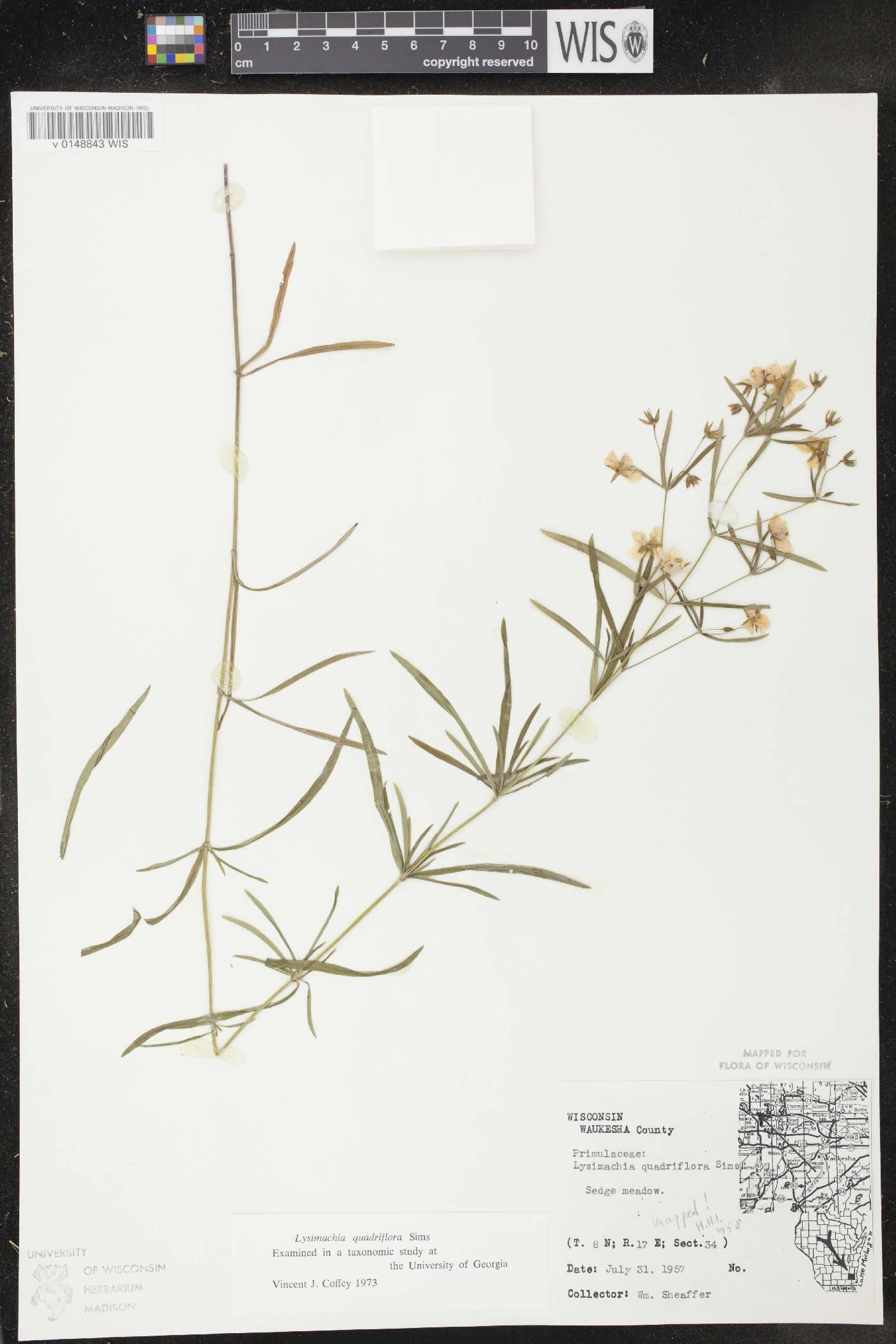 Lysimachia quadriflora image