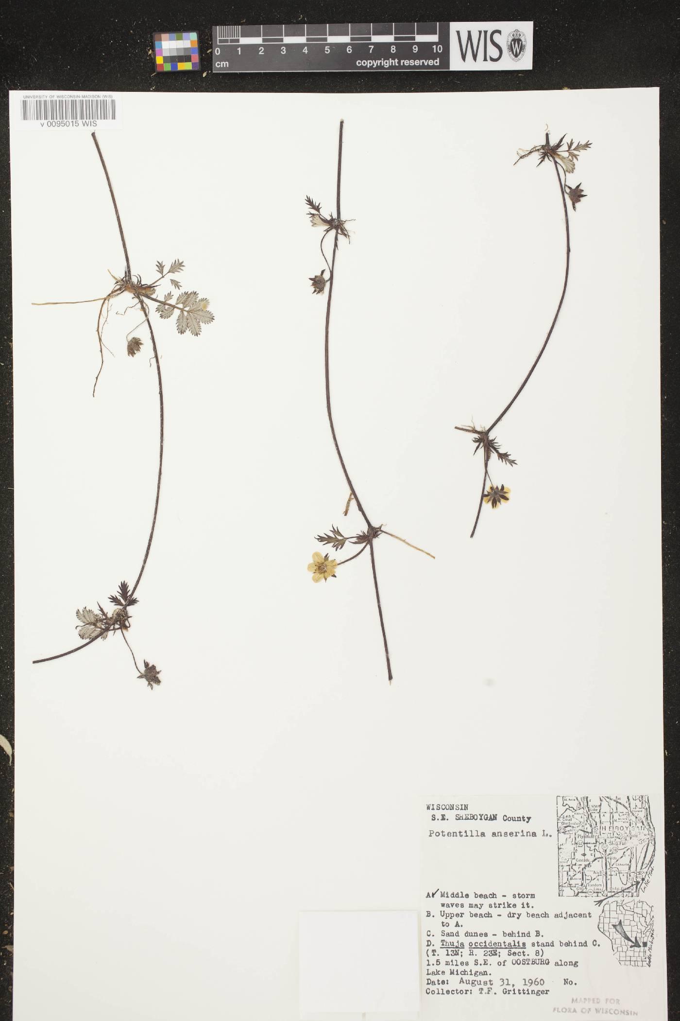 Potentilla anserina subsp. anserina image