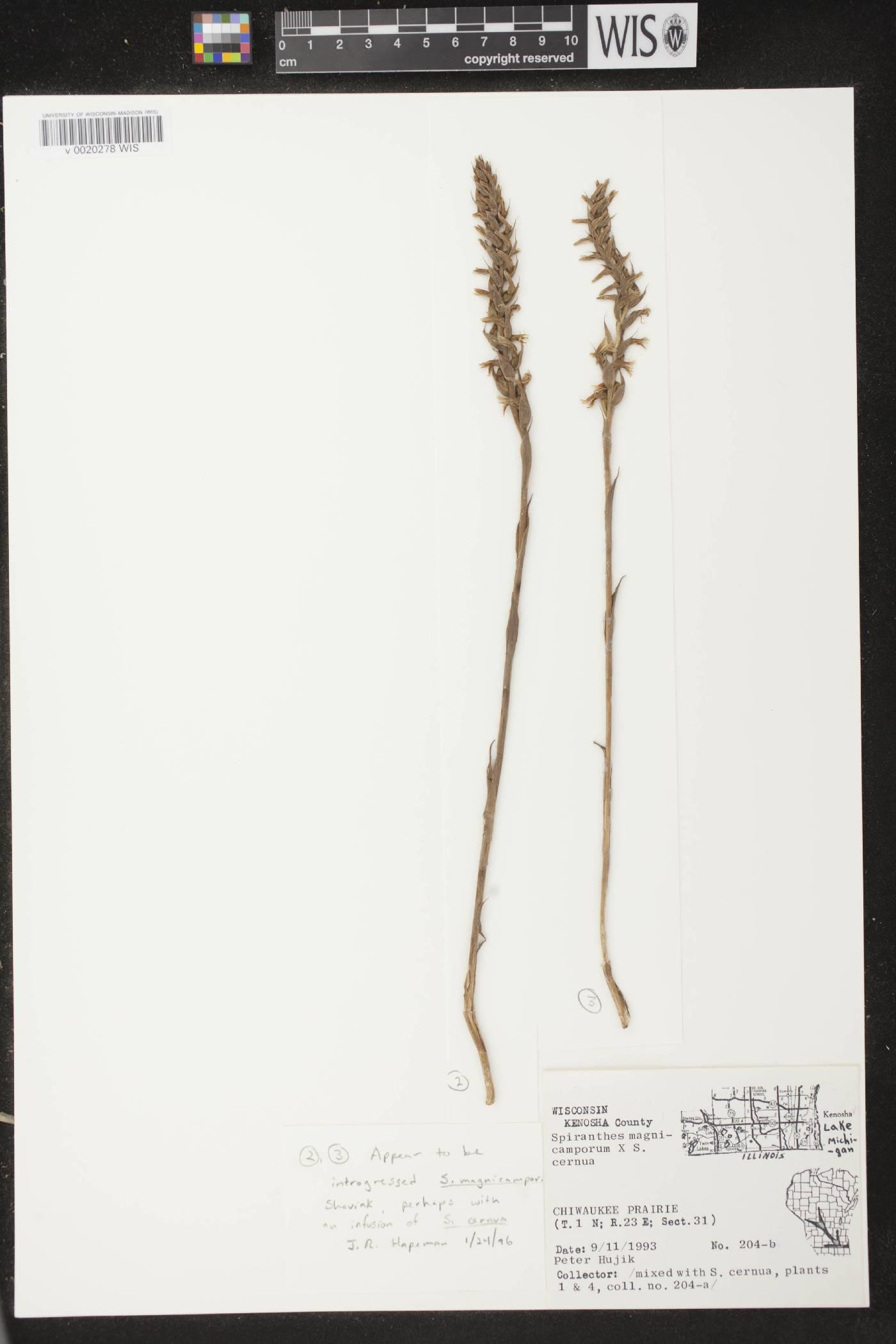 Spiranthes cernua X S. magnicamporum image