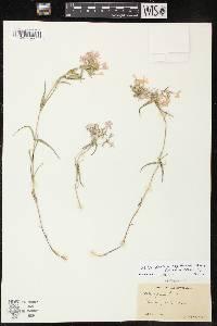 Image of Phlox pilosa subsp. fulgida