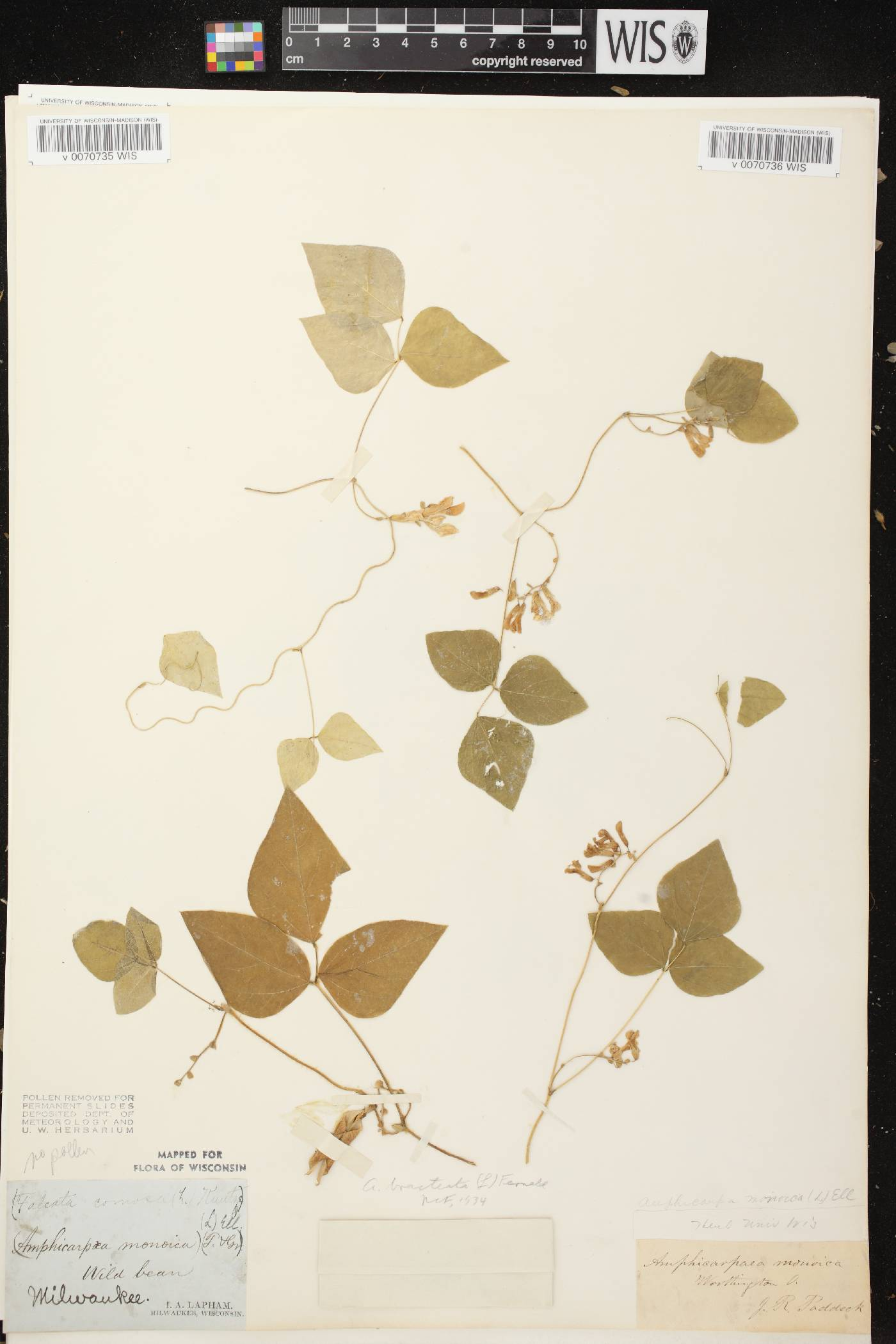 Amphicarpaea bracteata image