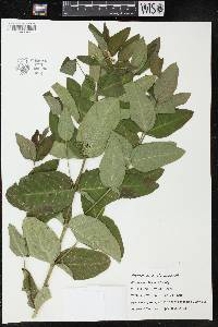 Image of Apocynum x floribundum