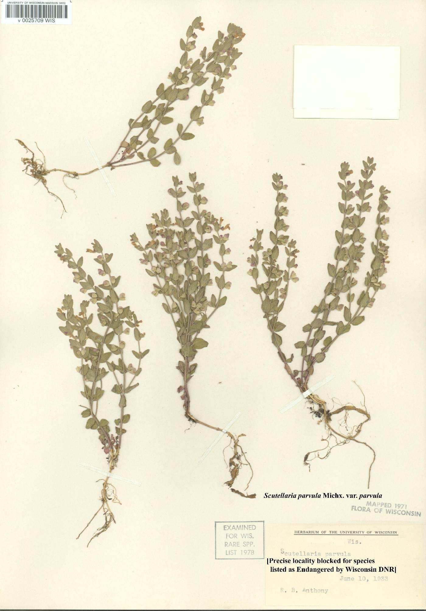 Scutellaria parvula var. parvula image