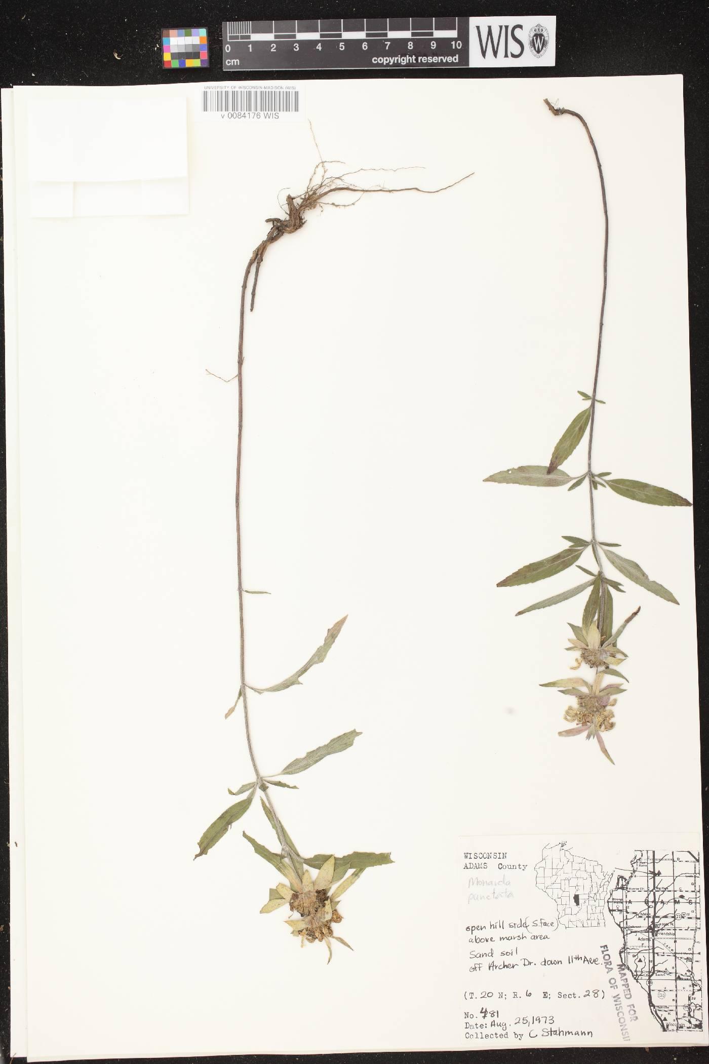Monarda punctata var. villicaulis image
