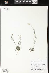 Image of Arabidopsis lyrata