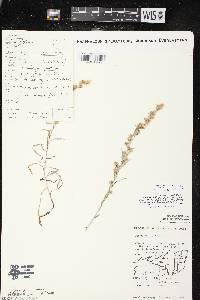 Omalotheca sylvatica image