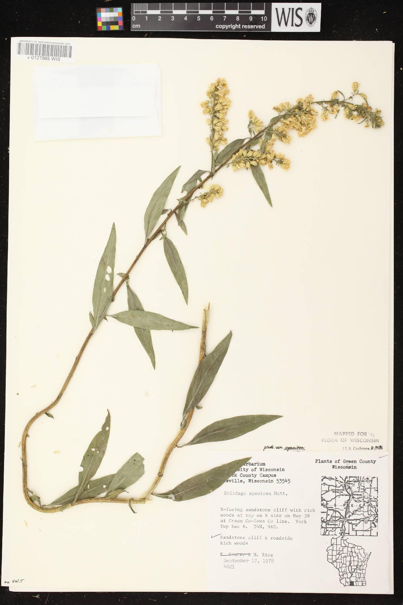 Solidago speciosa subsp. speciosa var. speciosa image