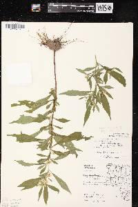Image of Symphyotrichum lanceolatum x s. lateriflourm