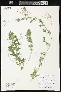 Image of Erodium cicutarium