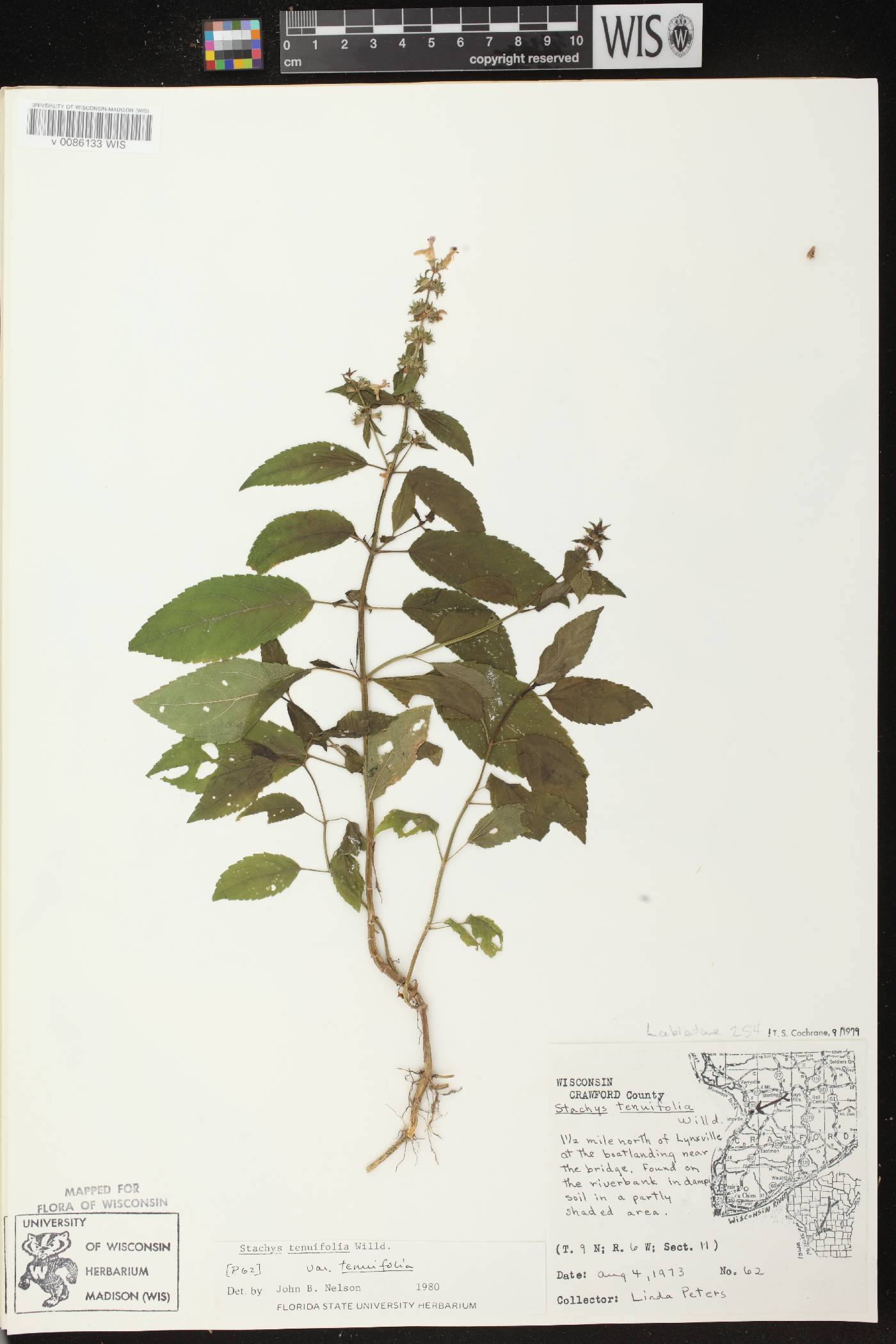 Stachys tenuifolia var. tenuifolia image