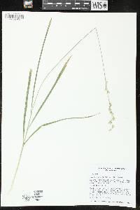 Image of Diarrhena obovata