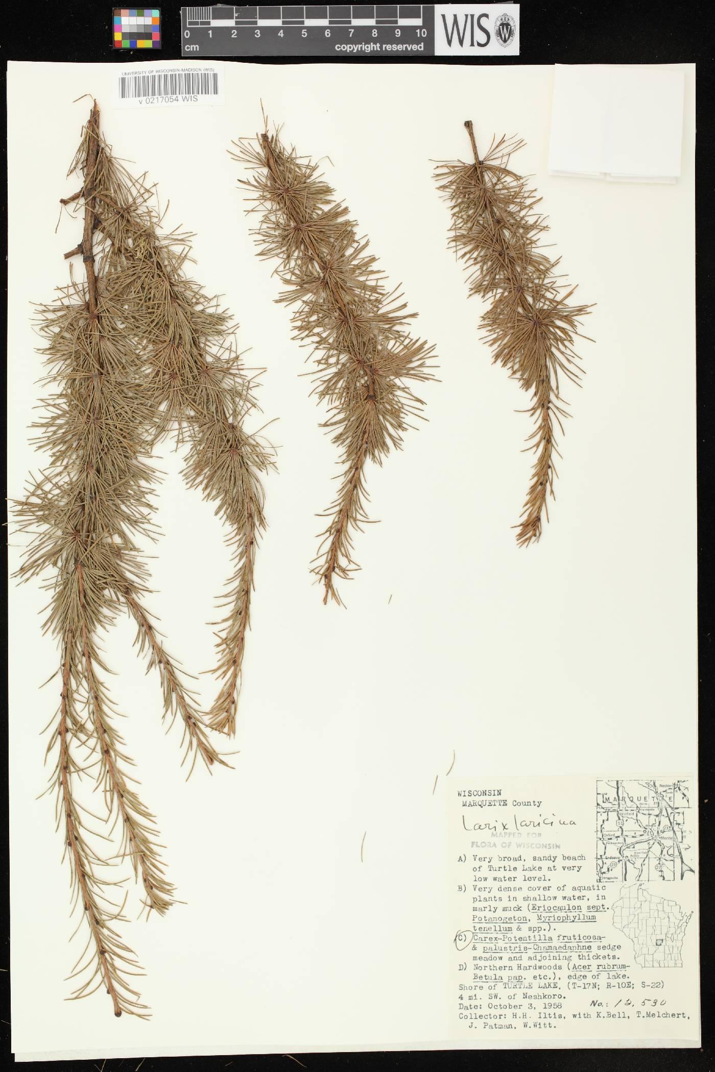 Larix laricina image
