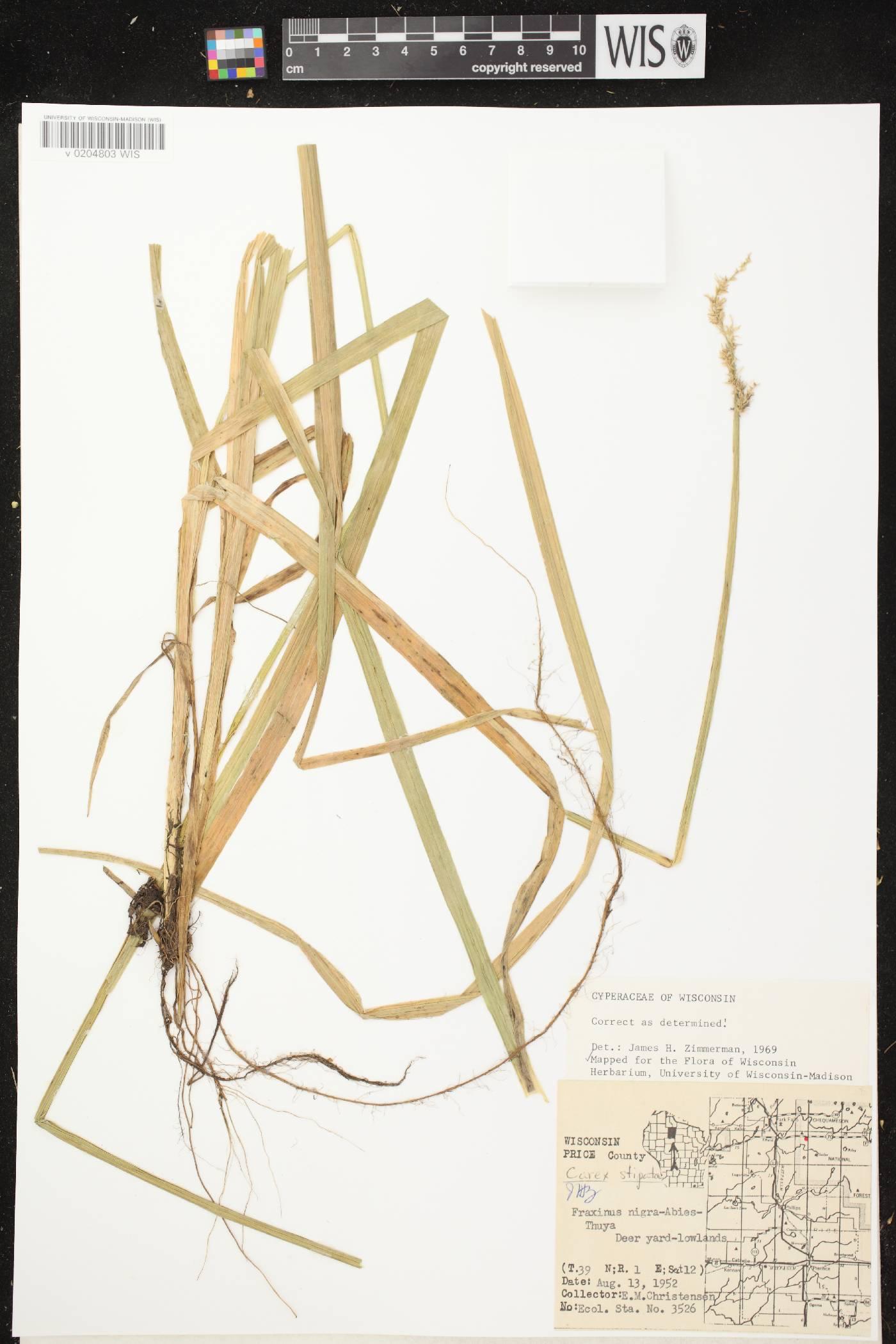 Carex stipata var. stipata image