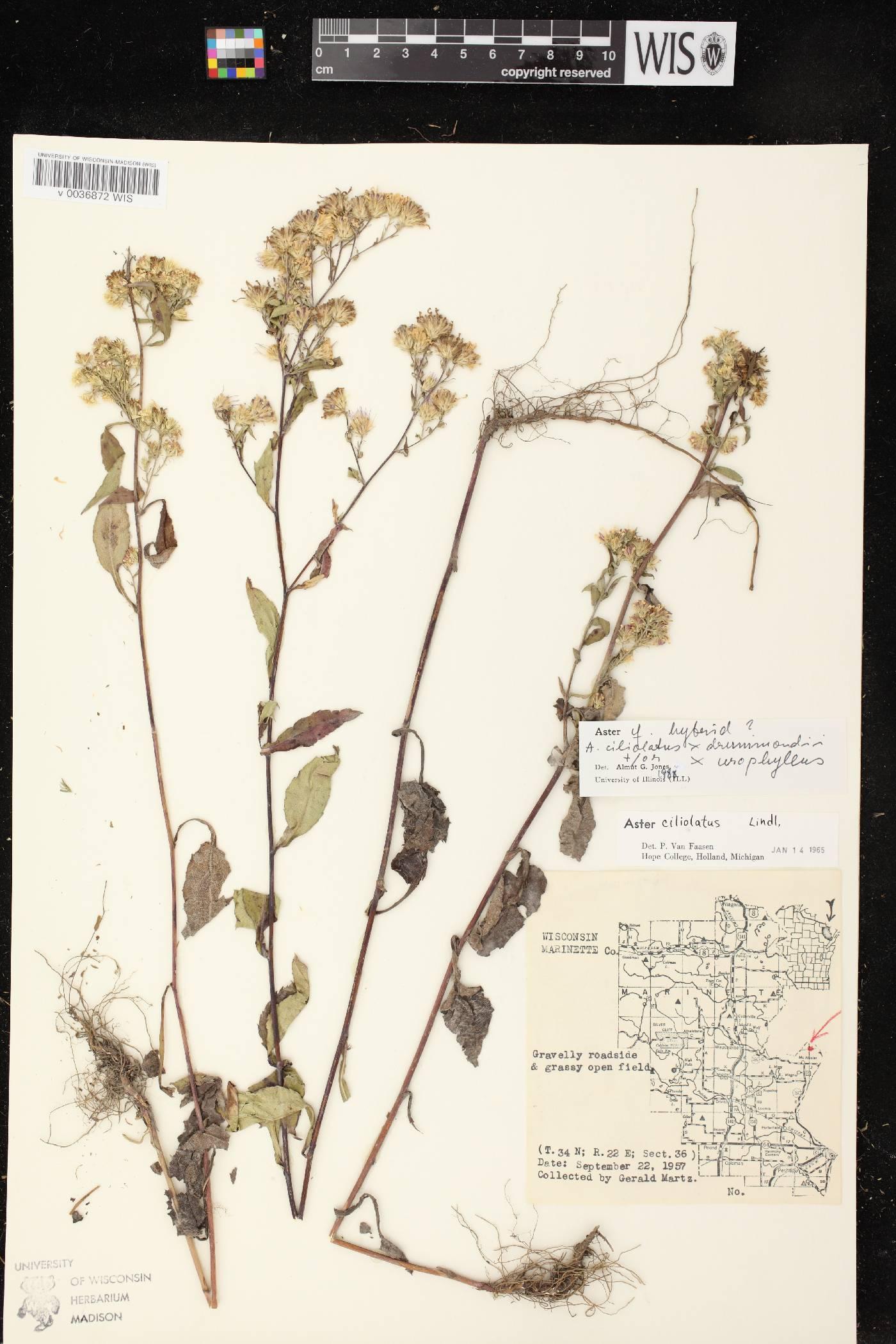 Symphyotrichum ciliolatum X S. drummondii image