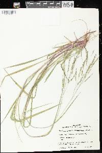 Panicum dichotomiflorum subsp. dichotomiflorum image